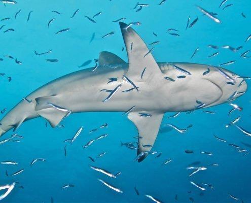 Hurawalhi Maldives shark