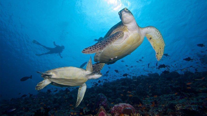 Hurawalhi Maldives turtles