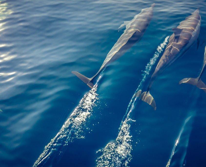 Hurawalhi Maldives dolphins