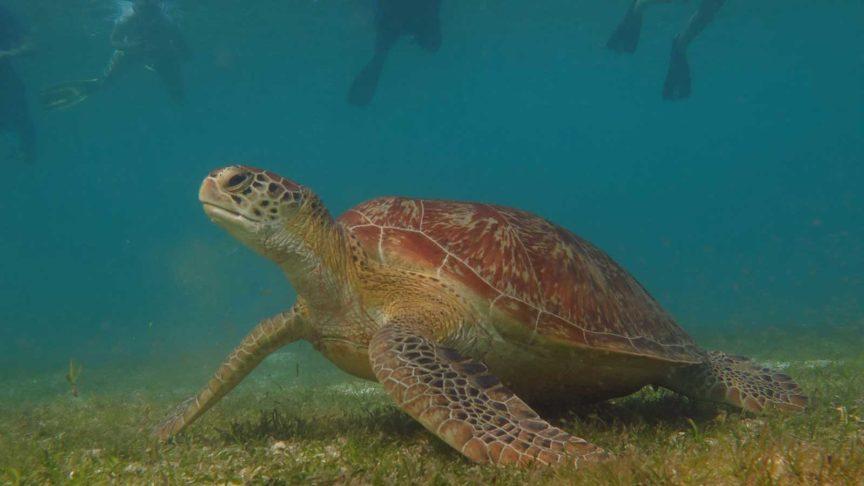 Hurawalhi Maldives turtle snorkelling