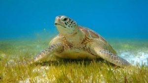 Turtle snorkelling Hurawalhi Maldives