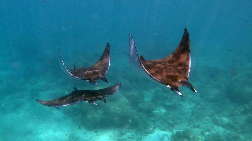 Mobula ray Hurawalhi Maldives